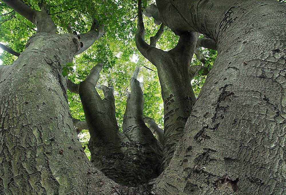 The Beech Tree Near The New River Campus Is The Tallest In Missouri. (Aaron  Eisenhauer)