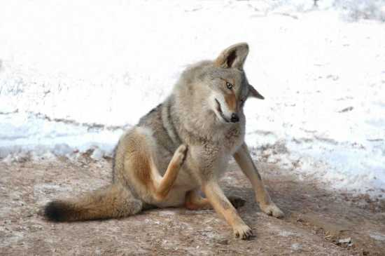 Coyote itching fleas