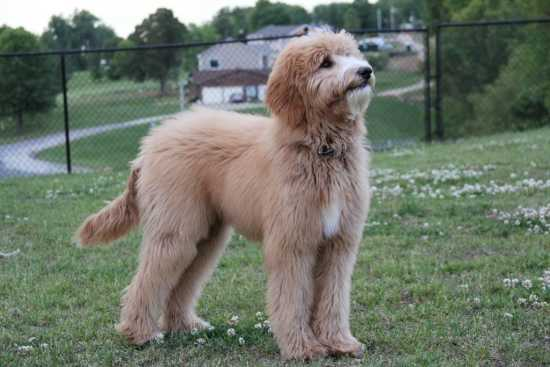 User-submitted photo by Joe BullockF1b Apricot Goldendoodle