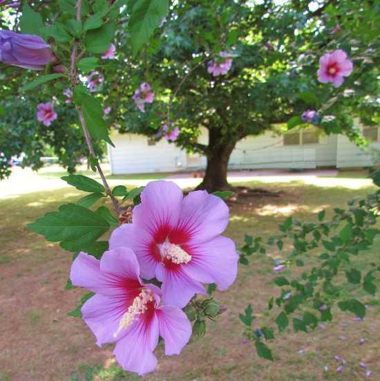 Hibiscus Pink Large Flower Stock Photos & Hibiscus Pink Large ...