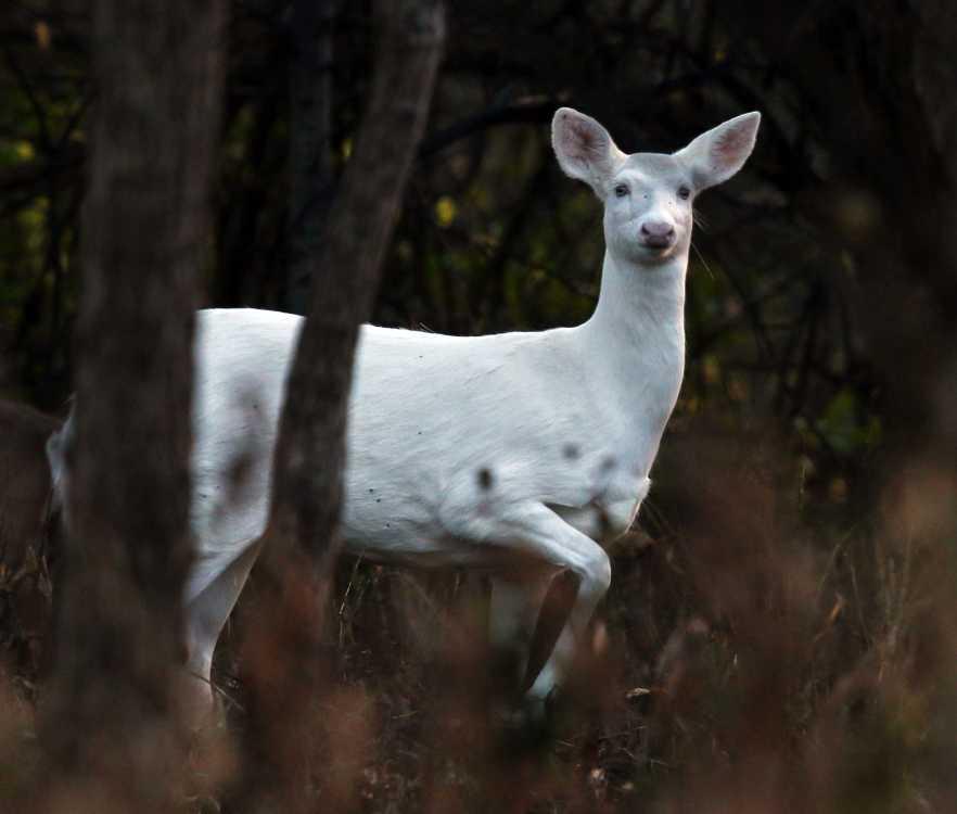 Albino Musk Deer
