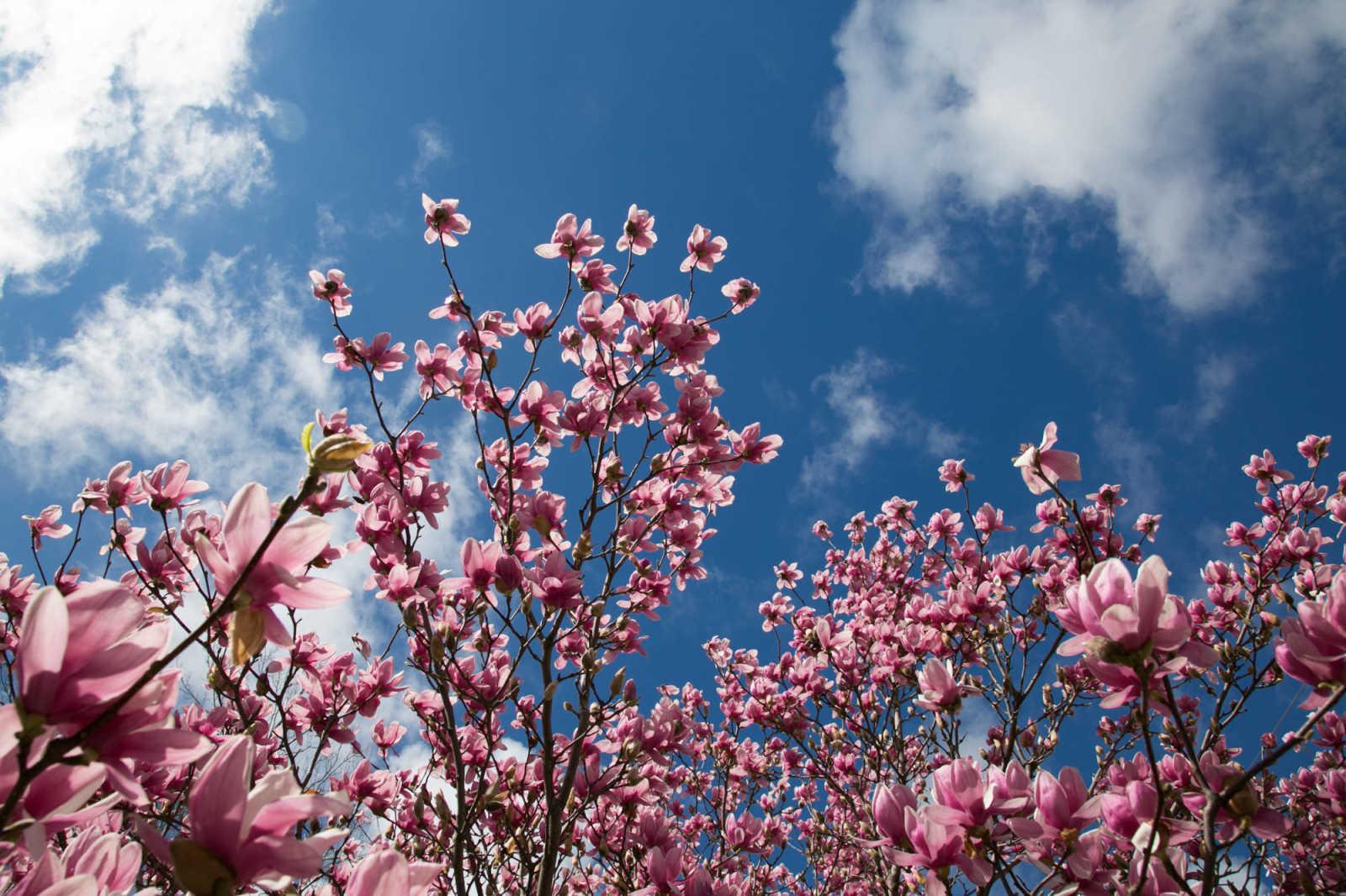 A Saucer Magnolia Tree Displays Itu0027s Blossoms In Downtown Cape Girardeau  Sunday, March 13, 2016. (Glenn Landberg)