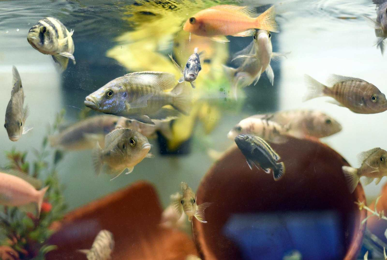 Freshwater fish hobby - Fish Swim Around In A Tank At Go Fish Tropical In Cape Girardeau On Thursday