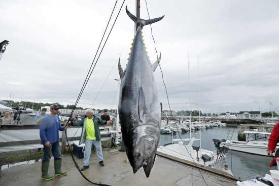 violent giant bluefin tuna hook up