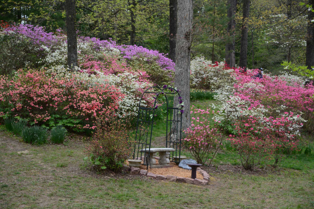 Blog Scenes From Pinecrest Azalea Garden 4 19 20 Southeast